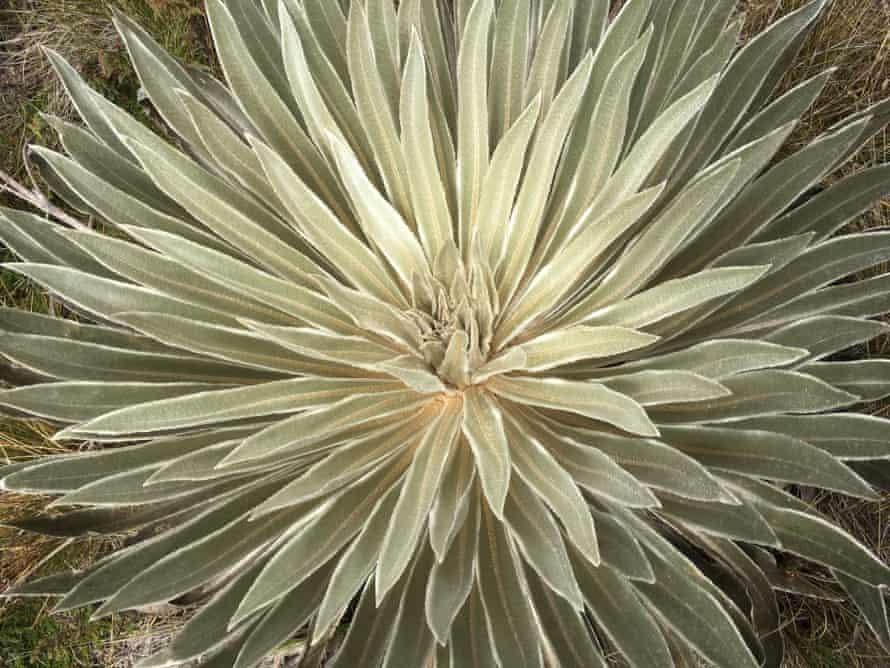 The frailejones, or big monk plant.