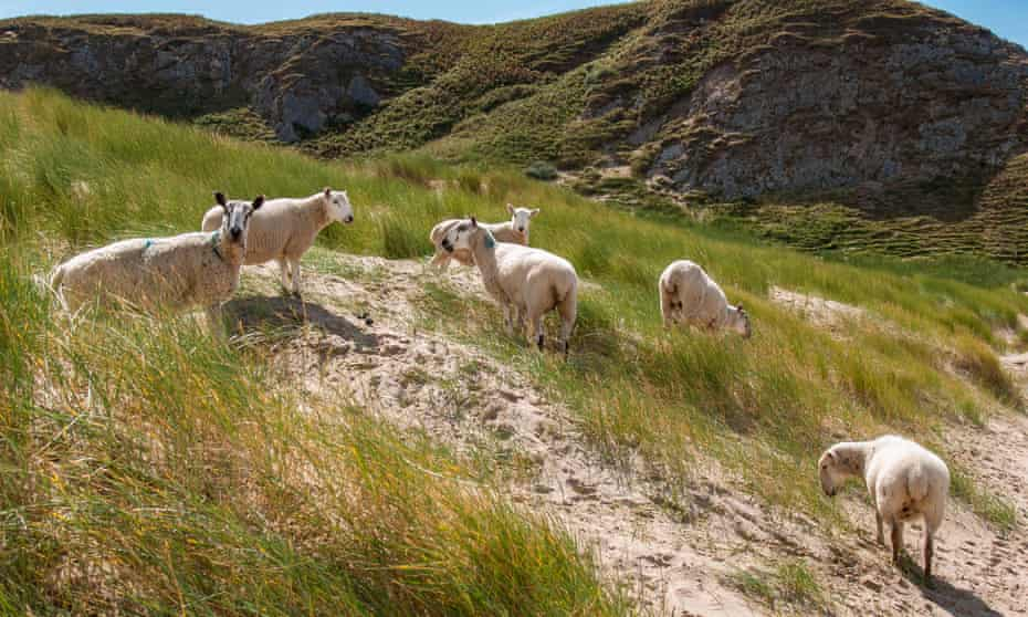 Sheep grazing at Whiteford Sands.