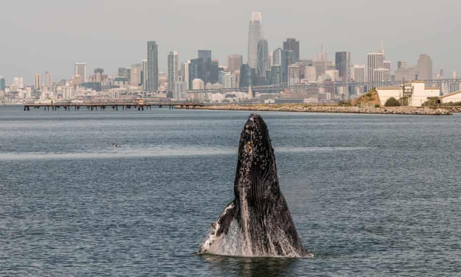 The humpback whale spotted in the San Francisco Bay has been nicknamed Allie. It may have swum back out to sea, experts said.