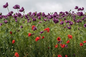 Blooming purple opium poppies (Papaver somniferum) and common red poppies (Papaver rhoeas) in a field near Kleinebersdorf, northeastern Austria. The cultivation of the opium poppy is permitted in Austria where the seeds are mainly used for gastronomic purposes.