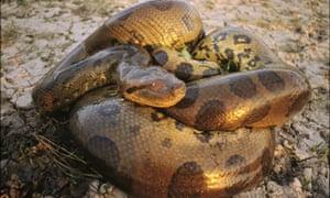 A coiled anaconda