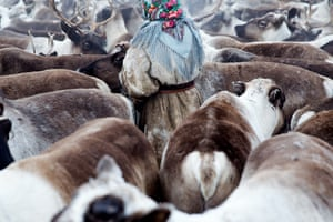 Inside Siberia's isolated community of forgotten women. A young Nenets woman gathers the reindeer before migration. Yamal Peninsula, Siberia, Russia.