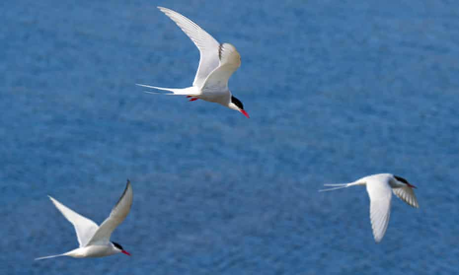 Arctic terns fly over sea