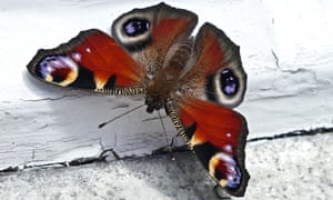 A peacock butterfly rests on a windowsill in Binsey, Oxford.
