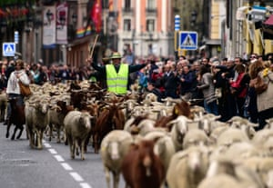 Shepherds leading more than 1,800 sheep arrive in Madrid