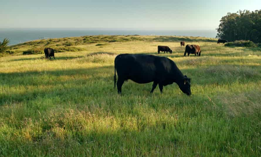 All the cattle on the 1,000-acre ranch are grass-fed.