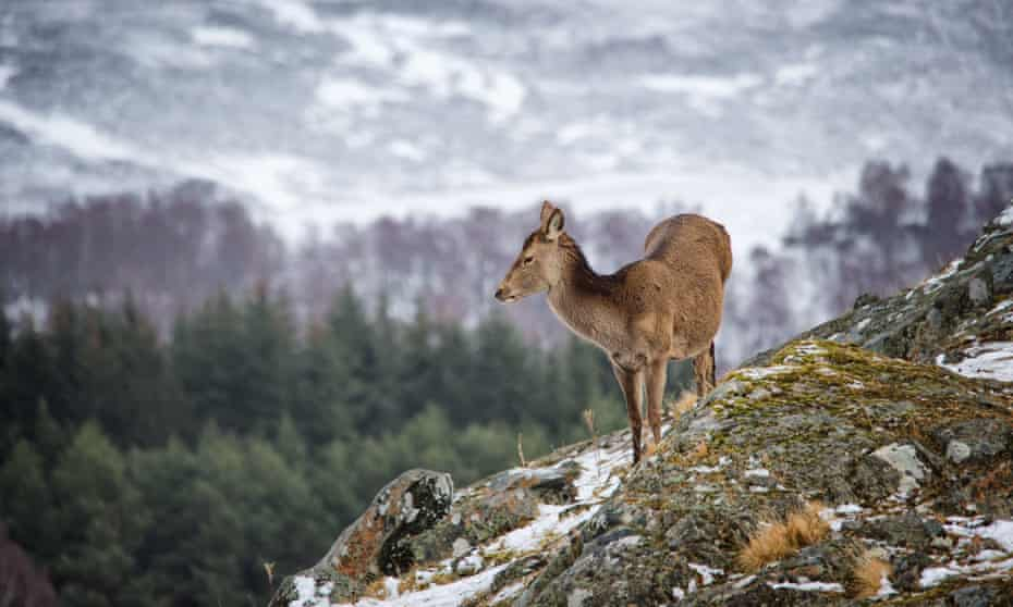A red deer standing on a hillside in bright light at the Highland Wildlife Park
