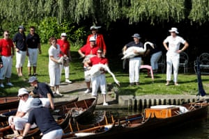 Officials return the swans to the Thames