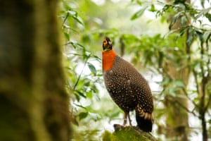 Blyth's tragopan, a vulnerable species of bird which thrives in the higher reaches of Khonoma Nature Conservation and Tragopan Sanctuary.