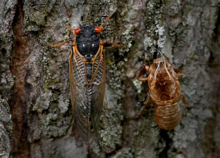 Brood cicadas emerge in Fairfax, Virginia. Nowhere will the hatching be more intense than around Washington.
