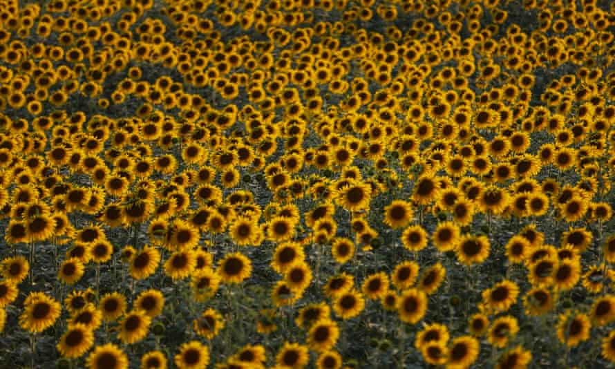 Visitors flock to sunflower fields all over the world, such as this one in Adana, Turkey.