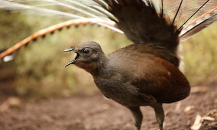 A lyrebird mid-song