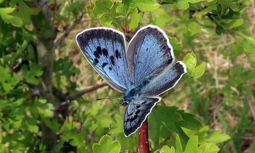 One of the 750 large blues that have emerged onto Rodborough Common in Gloucestershire