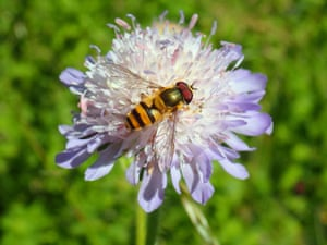 Hoverfly species (Epistrophe grossulariae – no common name) on field scabious
