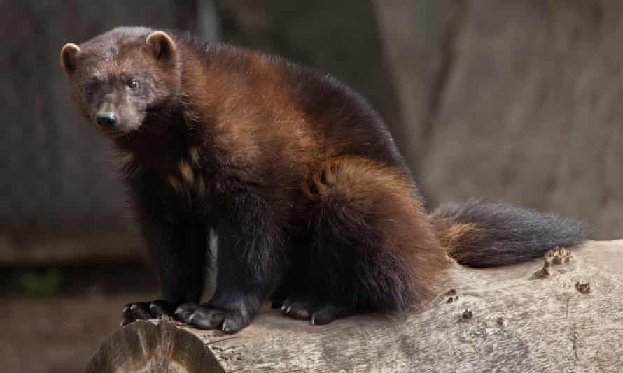 If temperatures rise at the expected rate, wolverines could lose a third of their range south of Canada by 2050, and two-thirds before the end of this century.