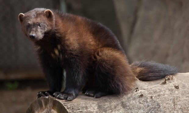 'Heads in the sand': conservationists condemn US failure to protect wolverines
