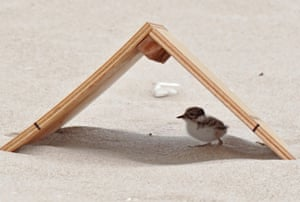 Hooded plover chick in shelter