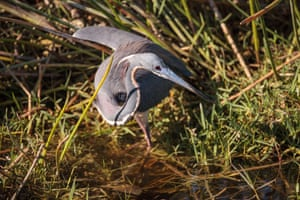 A little blue heron (Egretta caerulea) forages for food in a marsh in Naples, Florida.