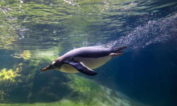 A gentoo penguin swimming in a zoo aquarium