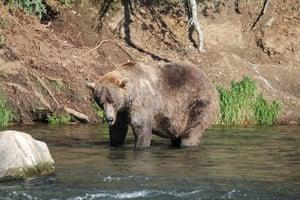 Bear 480 Otis who won Alaska's Fat Bear Week contest this week.