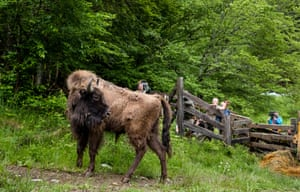 Bison are reintroduced to Romania's southern Carpathian mountains