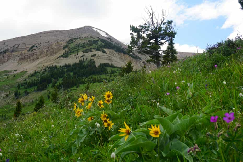 Wildflowers at the Big Snowy Mountains wilderness study area, part of the thousands of acres that have been shielded from development since the 1970s.