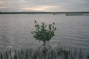 """A young mangrove stands in a lagoon near empty """"charangas"""", traps for shrimps made out of wood and fishing nets in Saladeros Veracruz. Due to a decline of fish in the last years, many locals have migrated to work in maquilas in the northern states."""