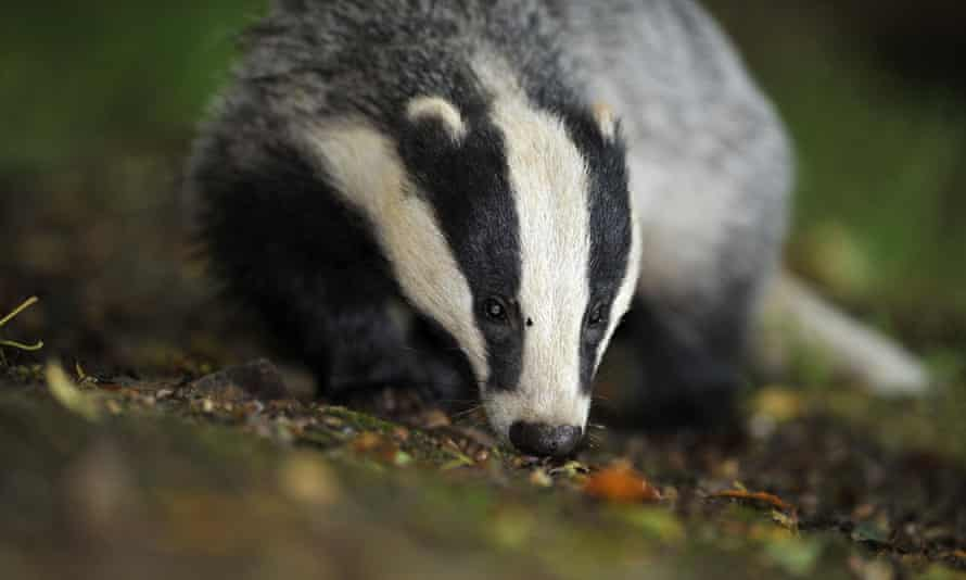There will be a halt in badger culling.