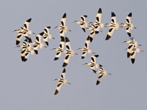 A flock of avocets wheel over the scrape at Cley Norfolk Wildlife Trust reserve in Norfolk