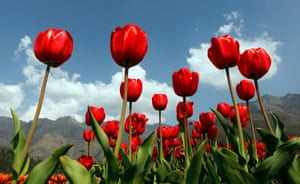 Red tulips against a blue sky