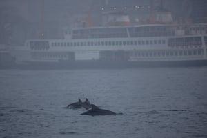 Three dolphins swim in the Bosphorus on a foggy evening in Karakoy district of Istanbul, Turkey