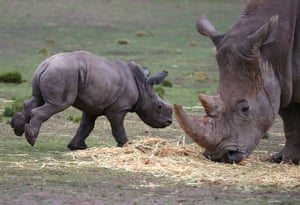 A white Rhino calf runs past its mother in an enclosure at Taronga Western Plains zoo.