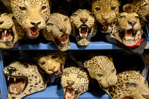 Leopards sit on shelves inside the National Wildlife Property Repository in Commerce City, Colorado, US