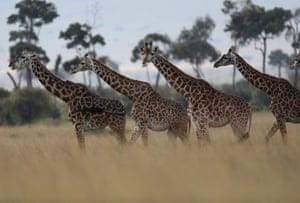 Masai Mara, Kenya Giraffes are seen in Masai Mara National Reserve