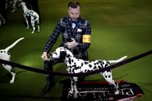 A handler poses a Dalmatian in the ring