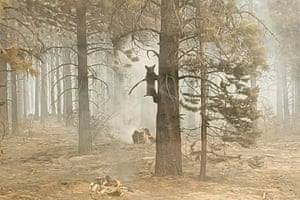 A bear cub clings to a tree after being spotted by a safety officer at the Bootleg fire in southern Oregon, US. As more fire personnel moved into the area, the cub scurried down the tree trunk and later left after being offered water. The Bootleg fire has expanded to cover 364,000 acres (564 sq miles)
