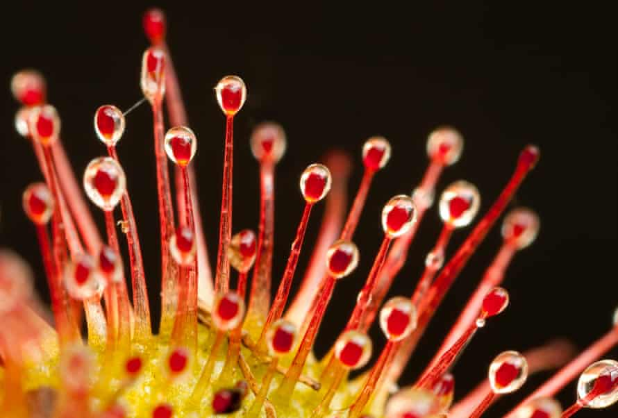 Sundews like this specimen photographed in Peak District national park use sticky droplets to capture passing insects, a food source that provides nutrients the plants here can't obtain from the soil
