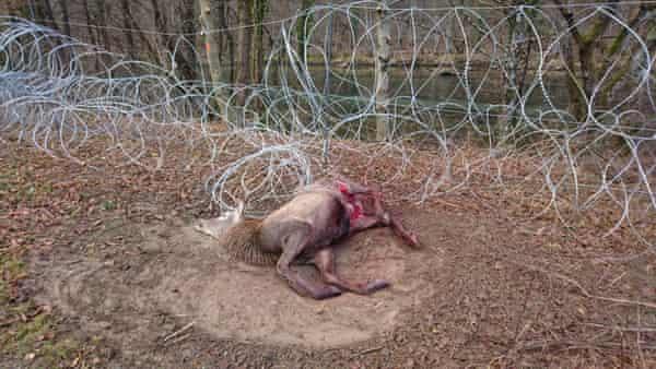 Dead animal caught in razor wire