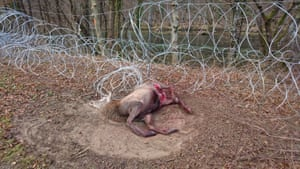 A dead deer lies caught in a razor-wire fence built by Slovenia to control migrants