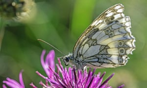 A marbled white in West Oxfordshire captured by Alison.