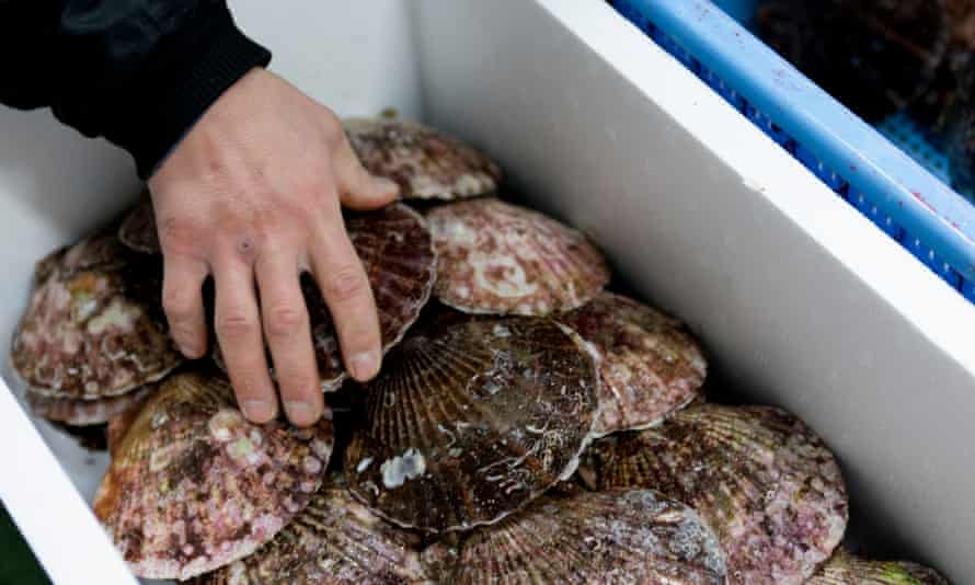 Scallops for sale in Tsukiji market.