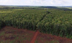 An aerial view of the teak plantation in the valley.
