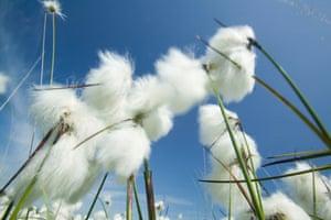 Cotton grass.