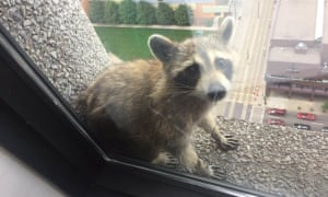 A raccoon sits on a window sill of the UBS Plaza building in St. Paul, Minnesota.