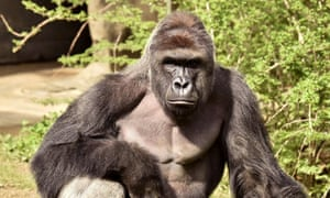 Harambe, a 17-year-old gorilla at the Cincinnati zoo, was shot after a boy fell into his enclosure.