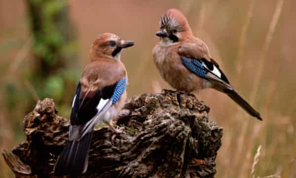 Jays, like squirrels, help oaks by hiding acorns, which may then germinate.