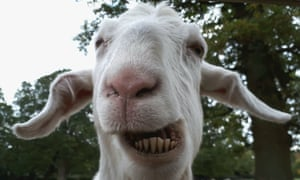 """'Comedy Goat' Goat in field next to Ockham Church, Surrey."