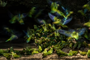 Cobalt-winged parakeets in Yasuní national park, Ecuador, by Liron Gertsman, 17, a winner in the Audubon photography awards