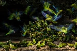 Liron Gertsman's Cobalt-winged Parakeets in Yasuní national park, Ecuador. Youth Winner in the 2018 Audubon Photography Awards