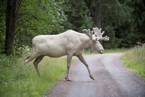 Varmland, Sweden A rare white elk is captured on film by a local hiker. The animal, also known as a moose, is thought to be one of fewer than 100 of its kind in Sweden